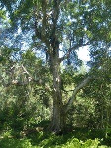 Ficus sur (Cape Fig)