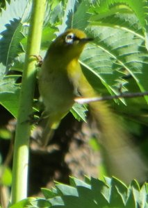 Zosterops capensis subsp. capensis (Cape White-Eye)