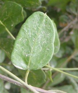 Cynanchum ellipticum