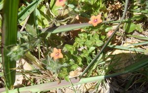 Angallis arvensis (Scarlet pimpernel)
