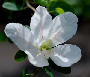 Flower of Bauhinia natalensis