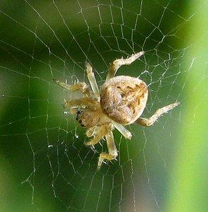 spider pale webber 3