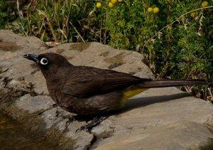 Pycnonotus capensis_1310_1