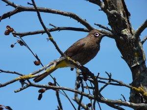 Cape Bulbul