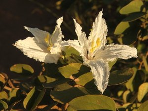Bauhinia petersiana