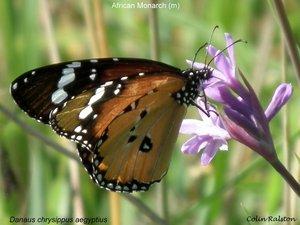 African Monarch (m)
