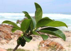 Shore Fig